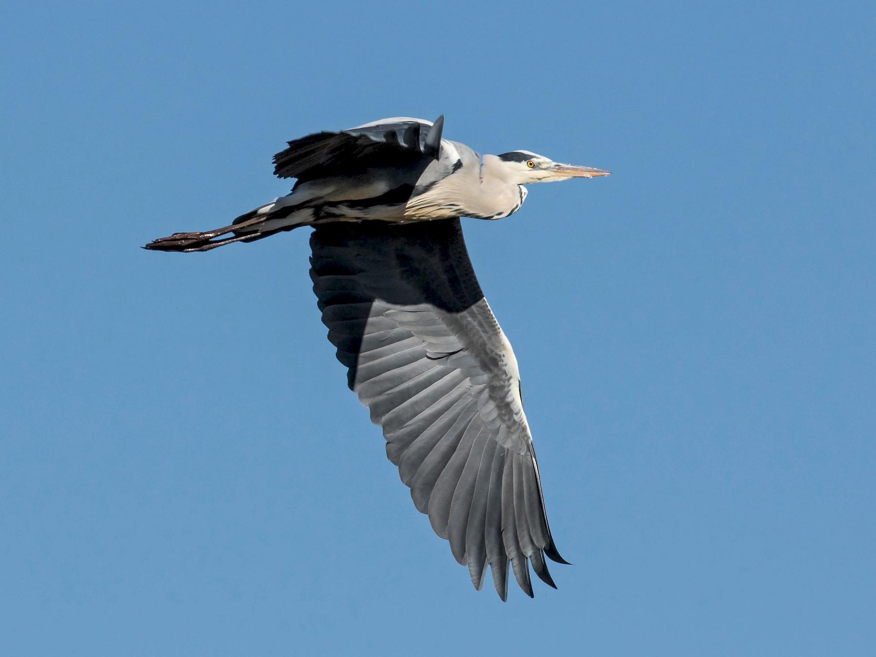 Gray Heron - John Reynolds