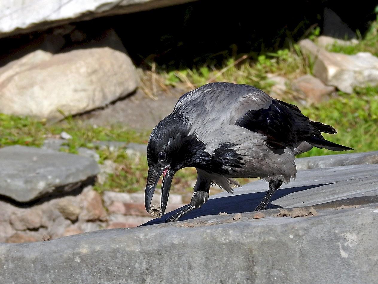 Hooded Crow - Steve Raduns