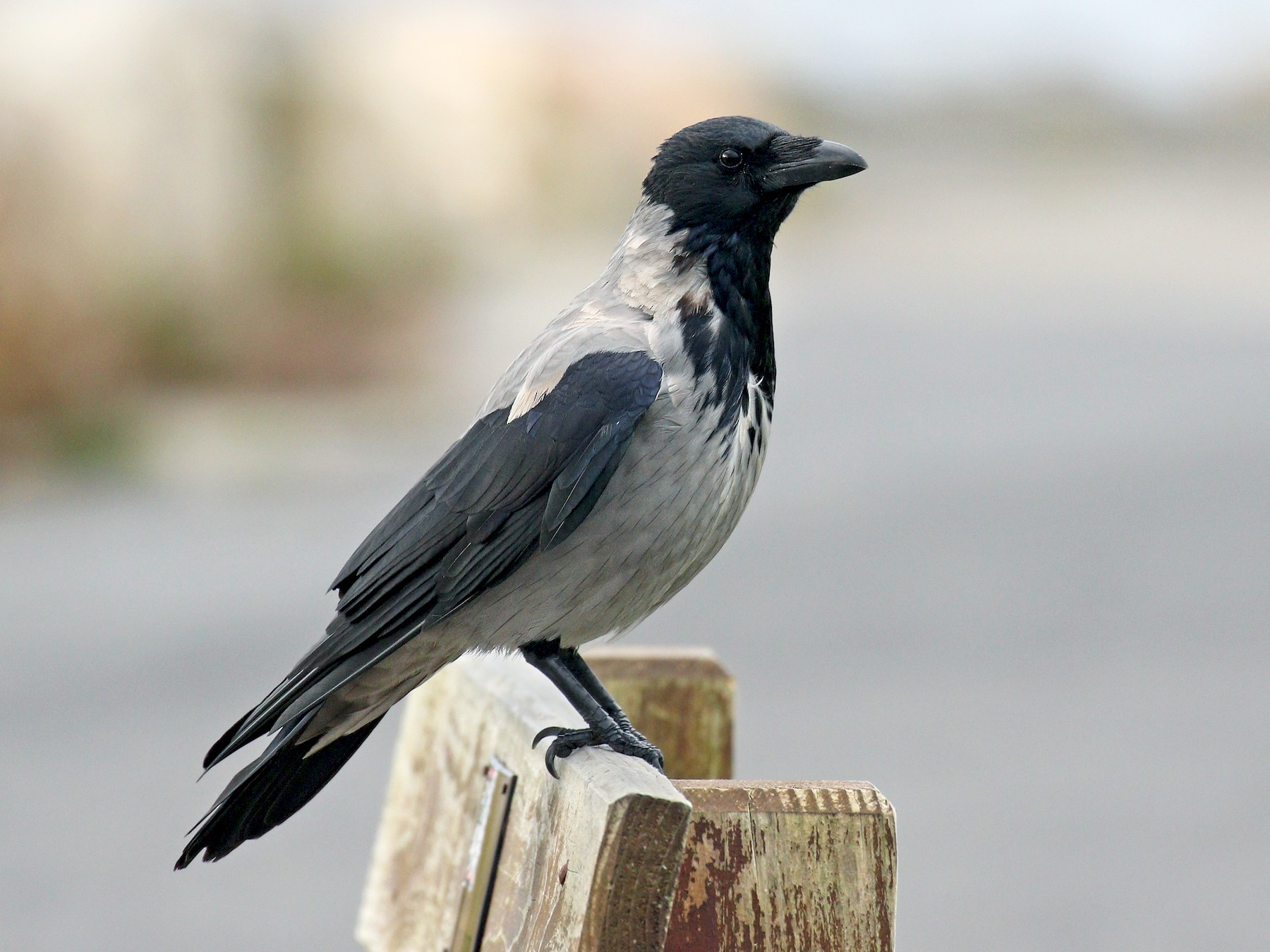 Hooded Crow - Ryan Schain