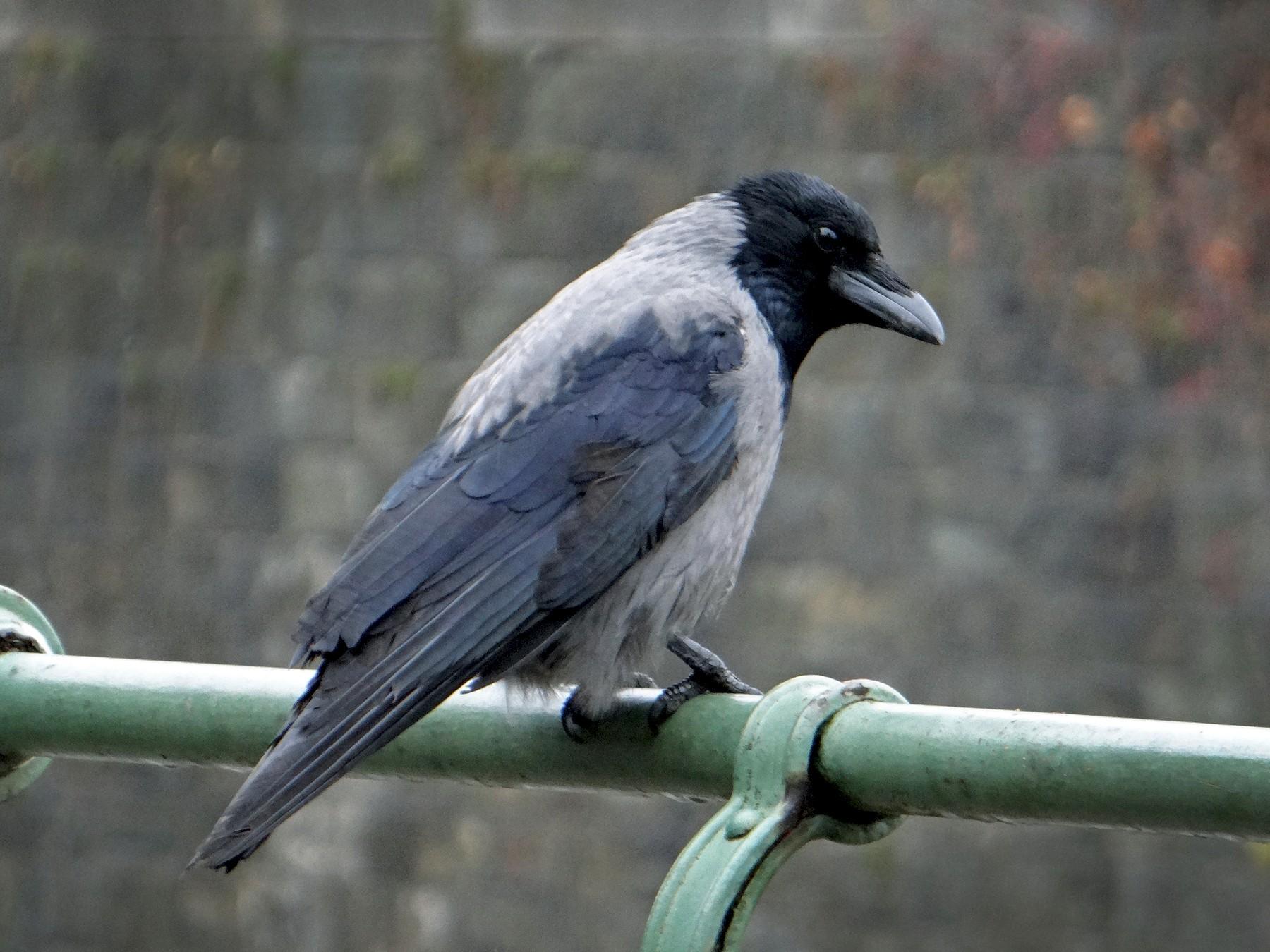 Hooded Crow - kas dumroese