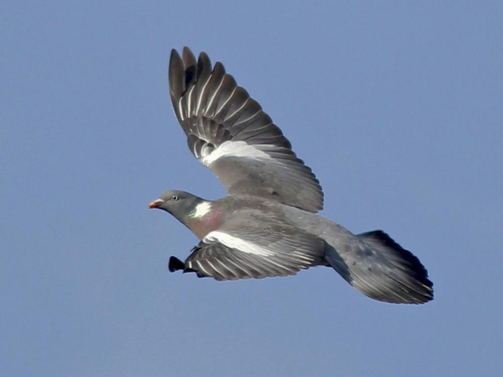 Common Wood-Pigeon - Nick  Rosen