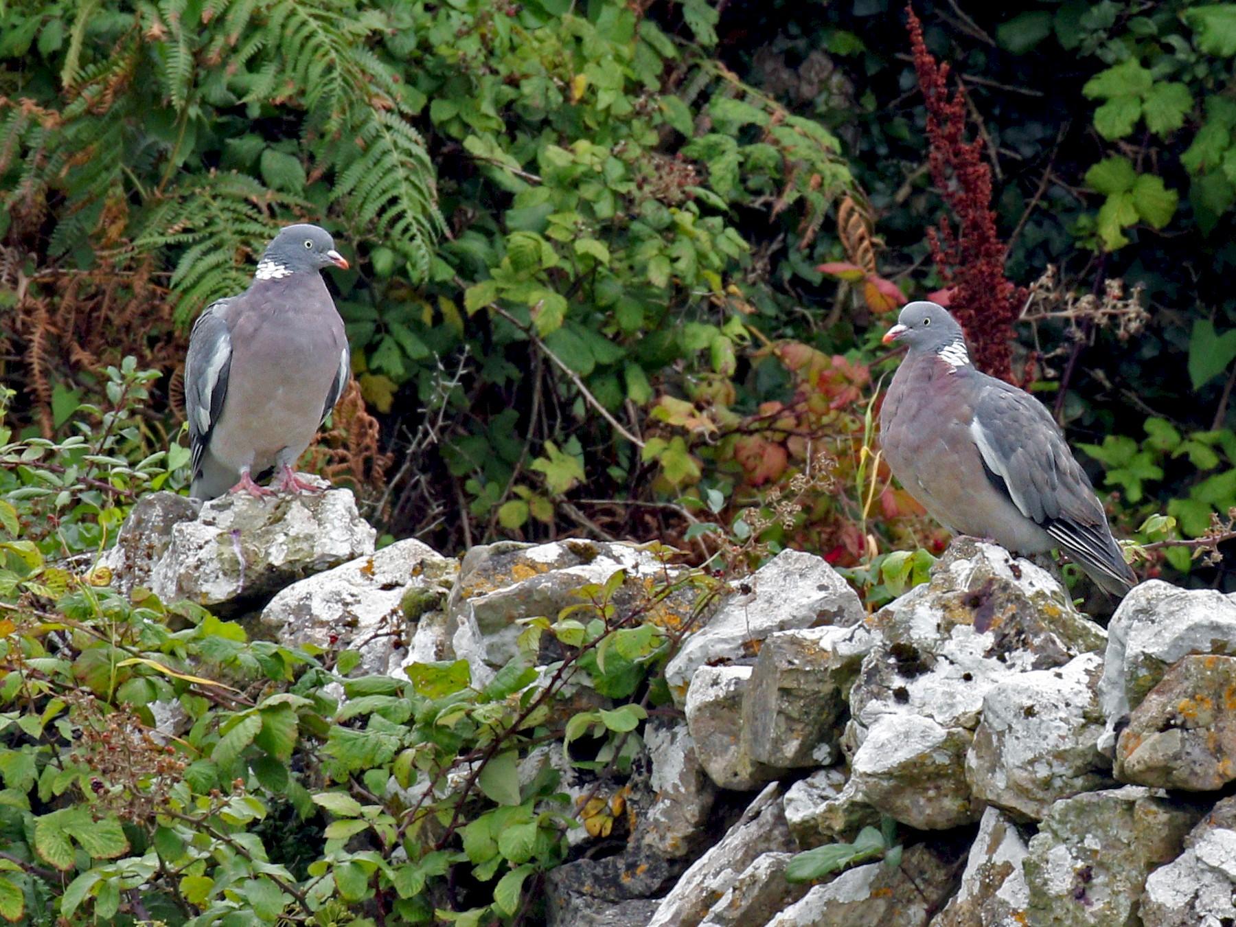 Common Wood-Pigeon - Ryan Schain