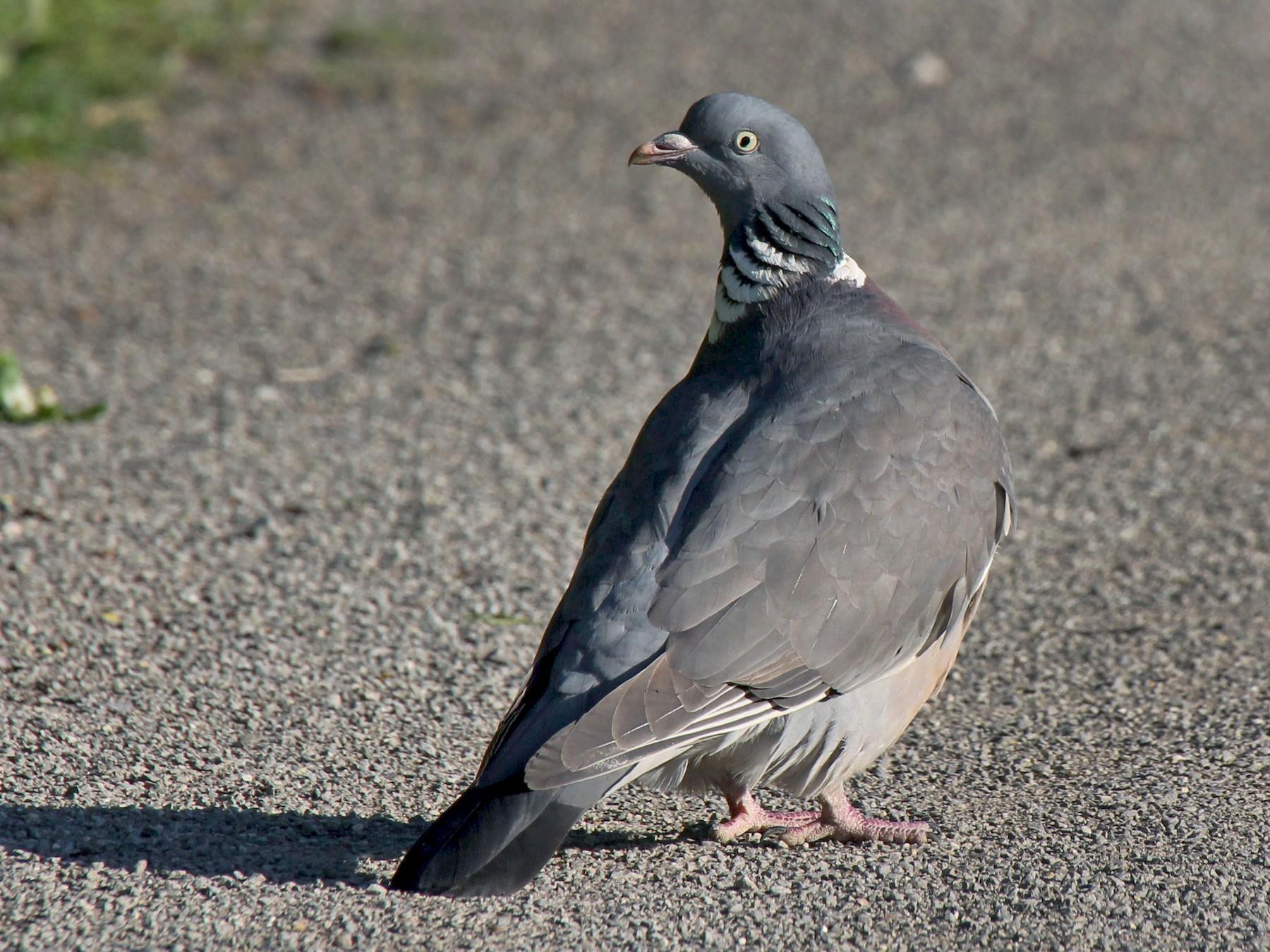 Common Wood-Pigeon - Paul Chapman