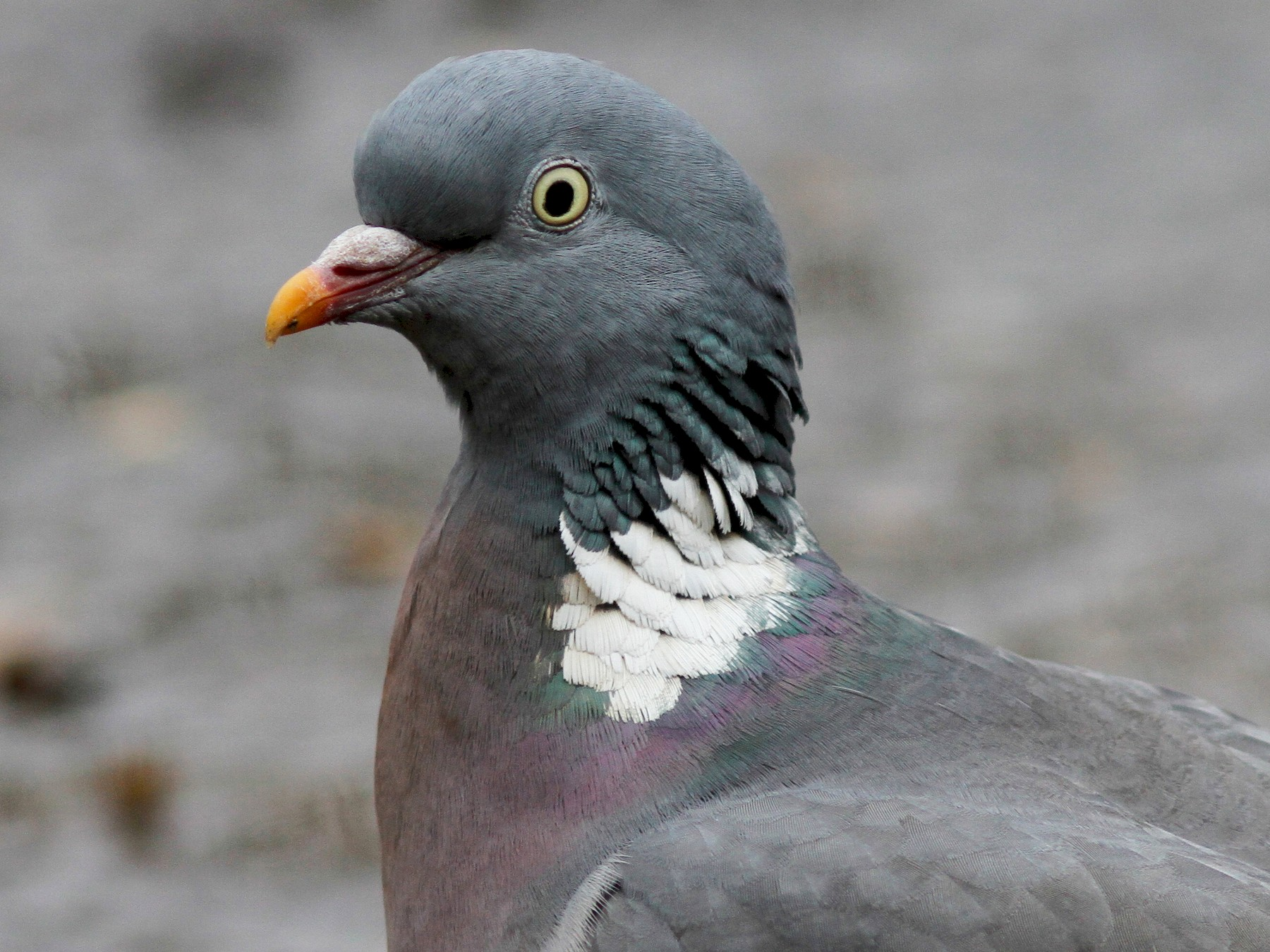 Common Wood-Pigeon - Steve Kelling