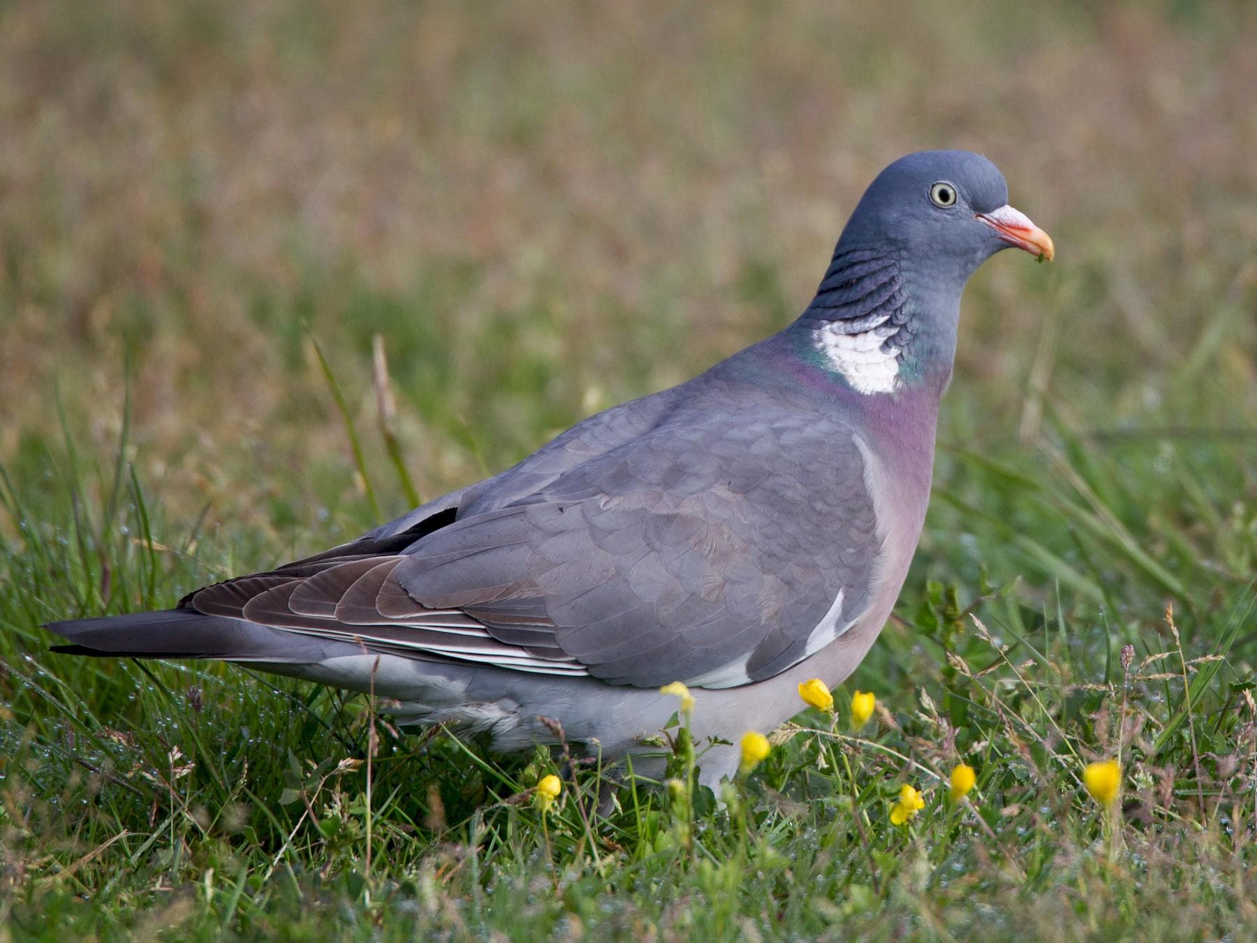 Common Wood-Pigeon - Ian Davies