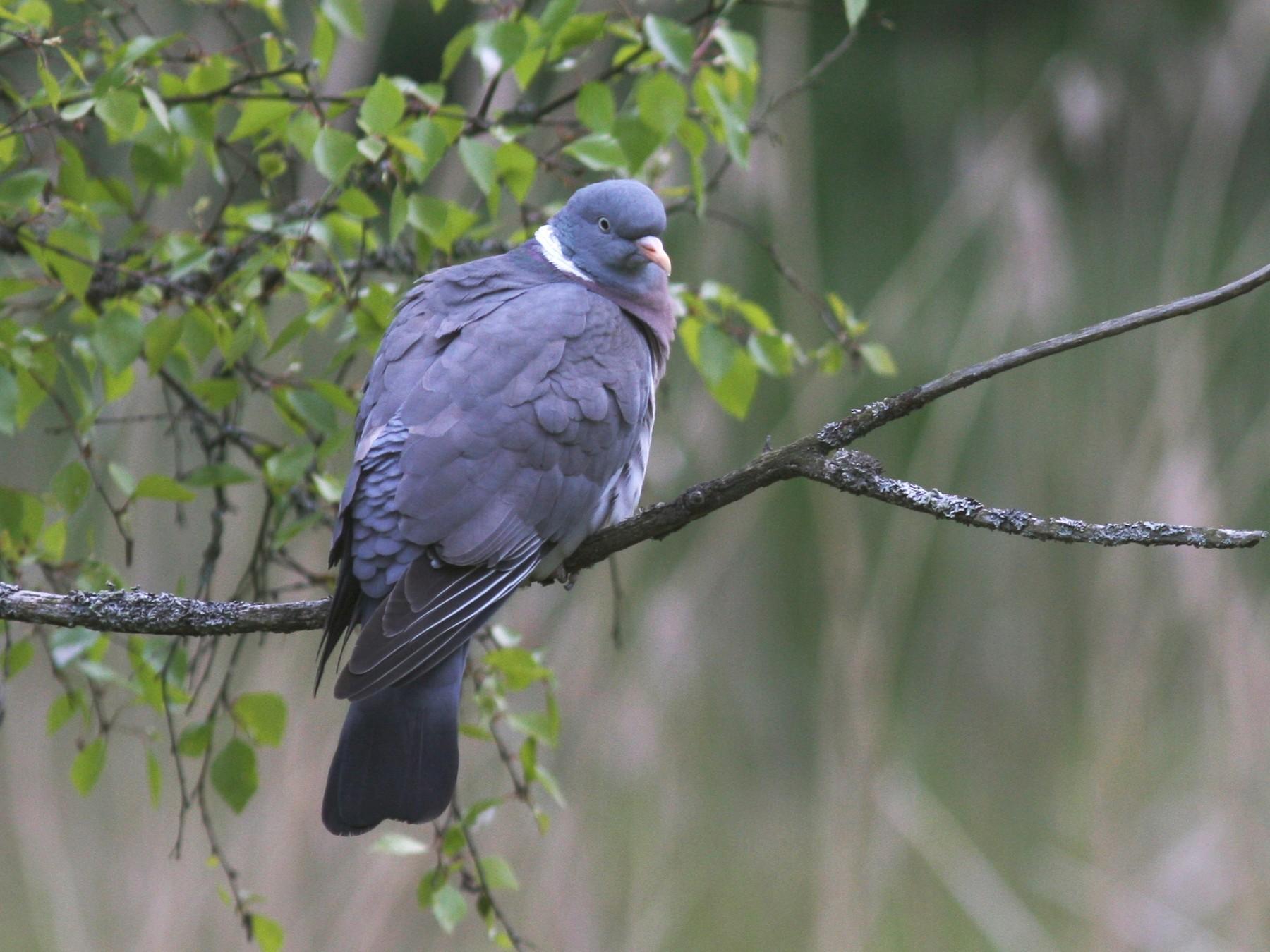 Common Wood-Pigeon - Knut Hansen