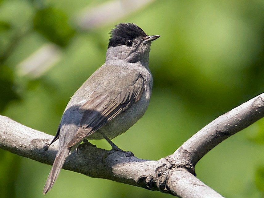 Eurasian Blackcap - Anonymous eBirder