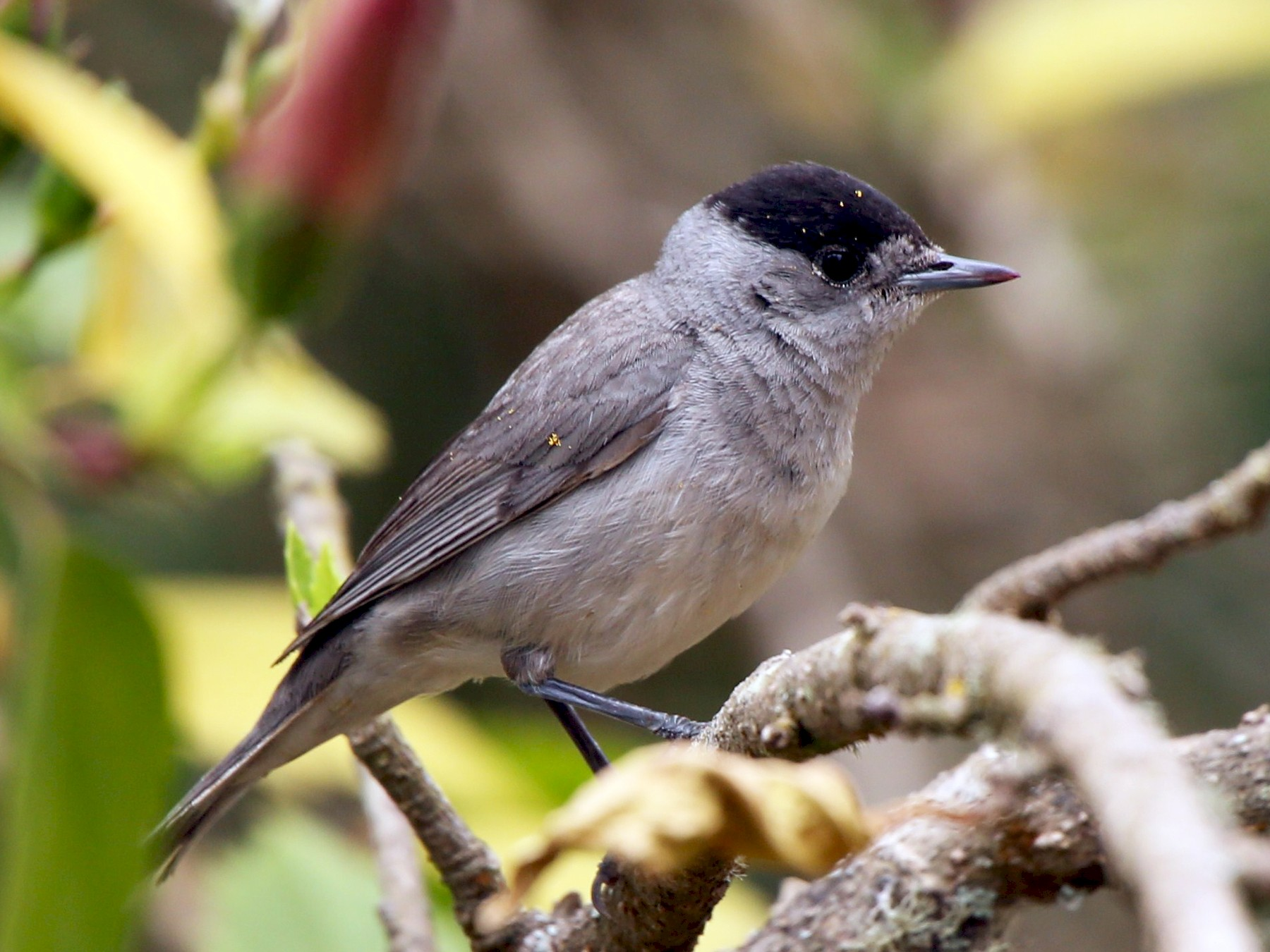 Eurasian Blackcap - Paul Chapman