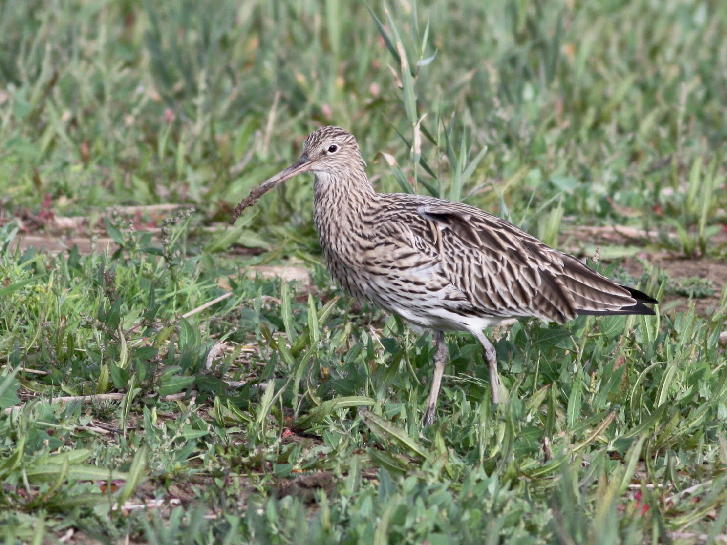 Eurasian Curlew - Toby Austin