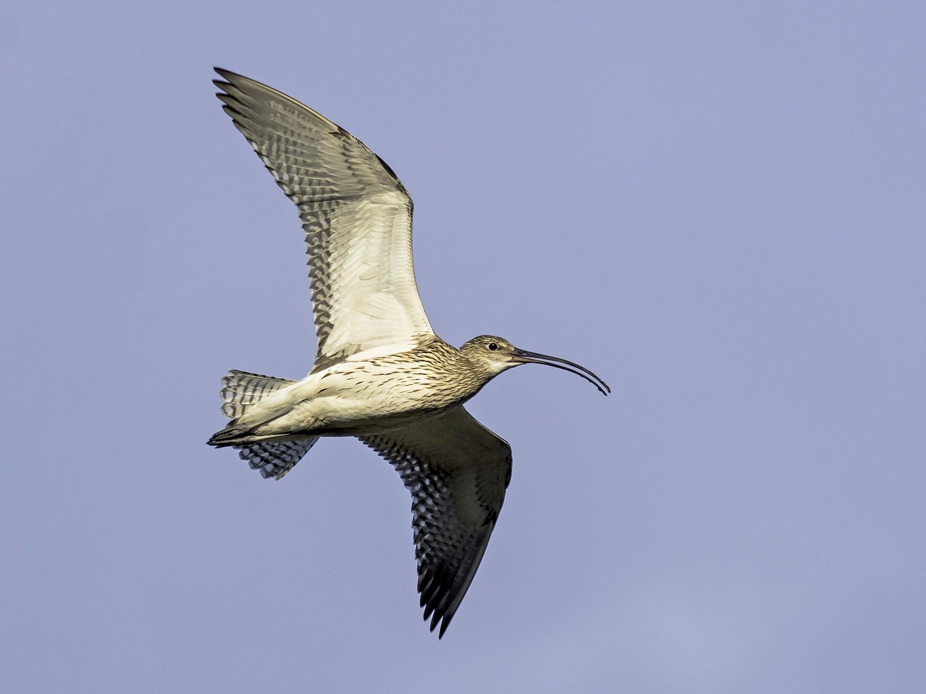Eurasian Curlew - Batmunkh Davaasuren