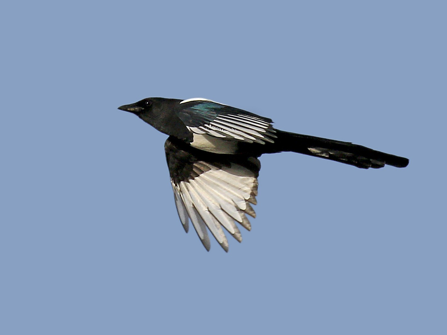 Eurasian Magpie - Ryan Schain