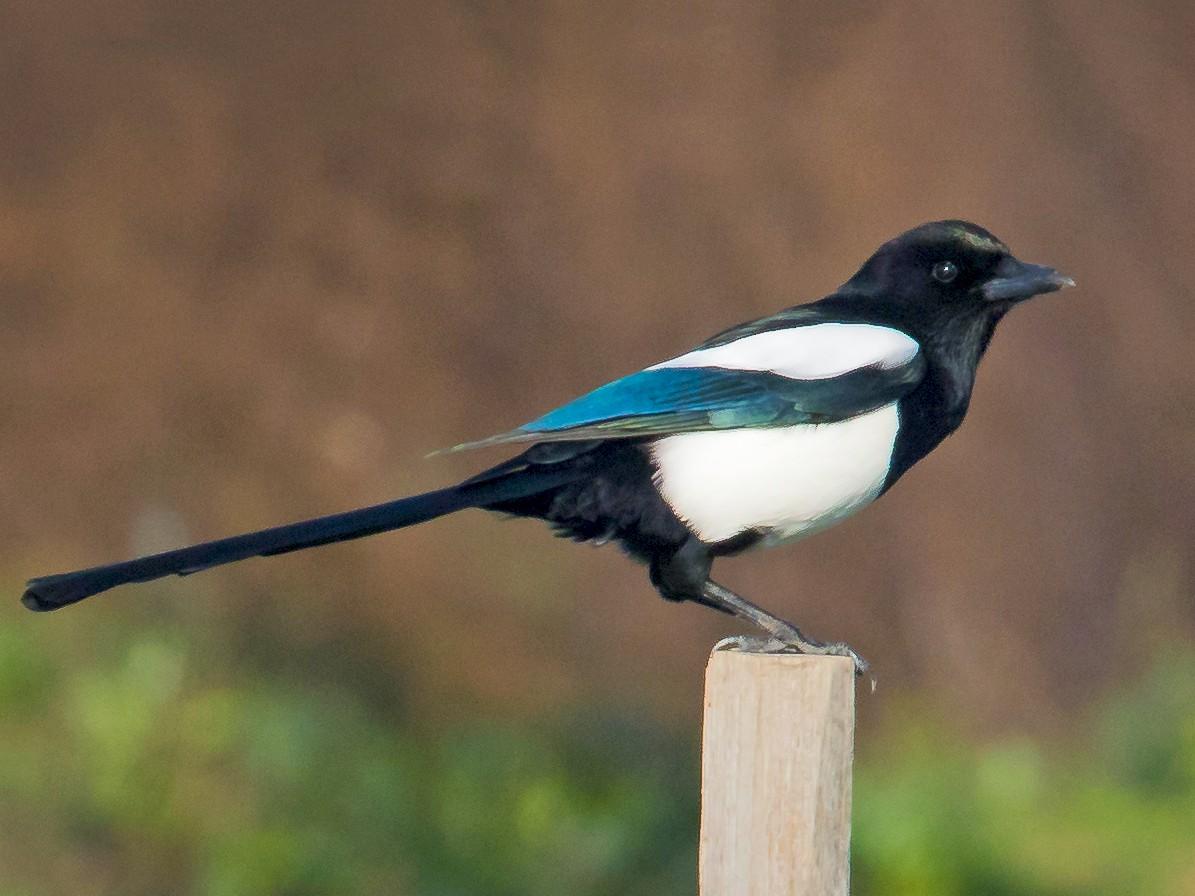 Eurasian Magpie - John Reynolds