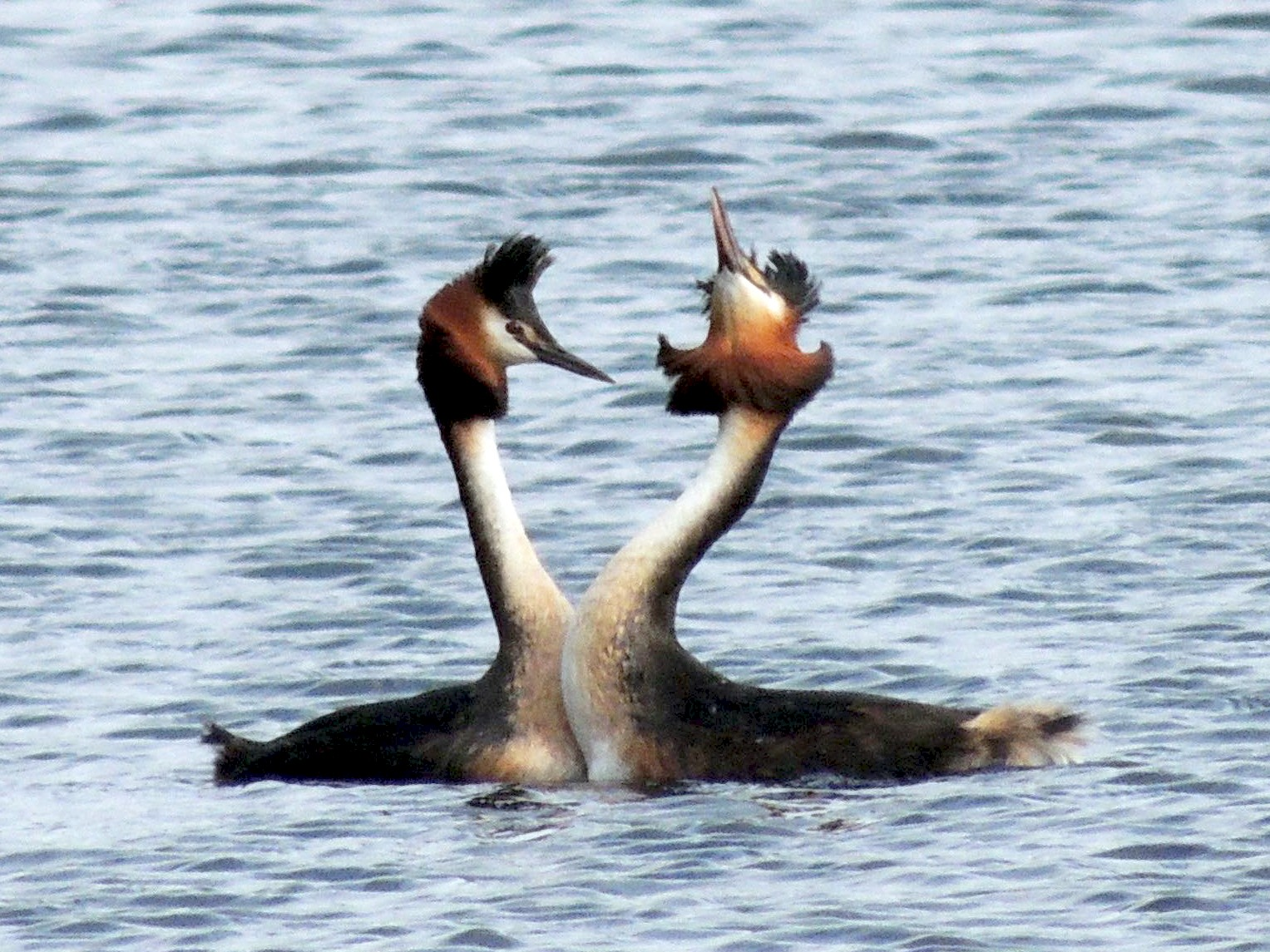 Great Crested Grebe - Gary & Kathy Harris