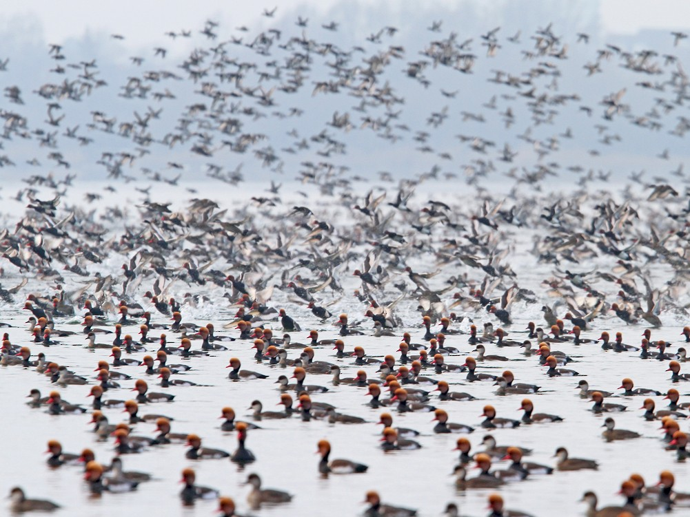 Red-crested Pochard - Christoph Moning