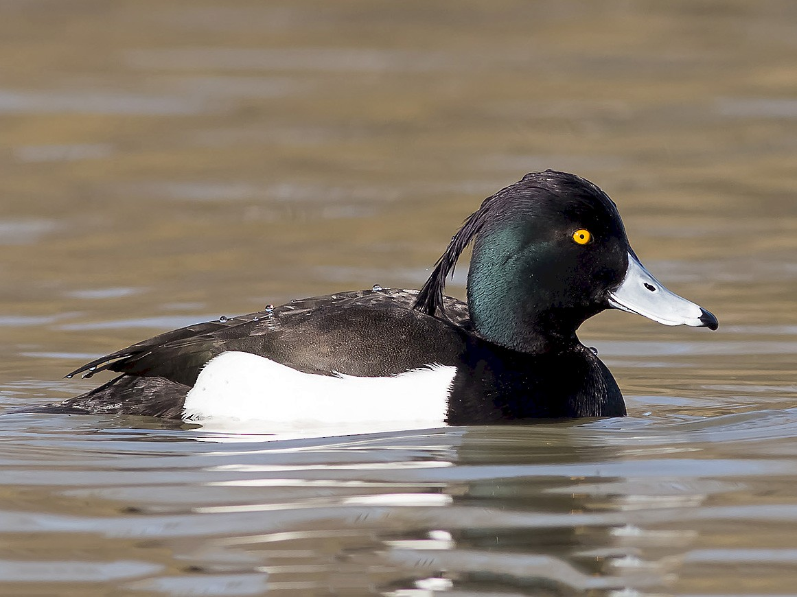 Tufted Duck - Ruud Visser