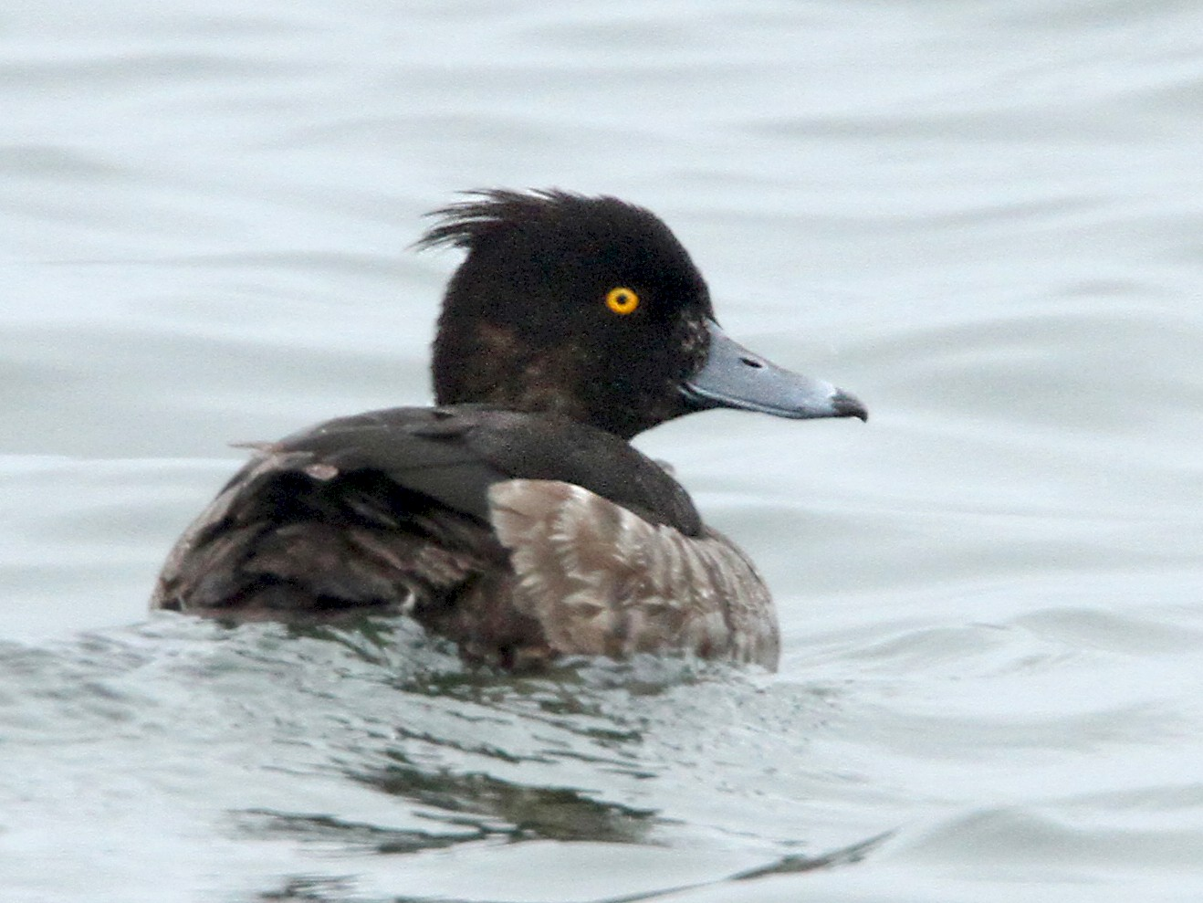 Tufted Duck - Luke Seitz