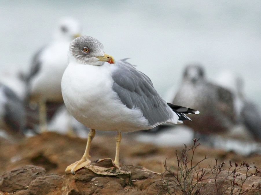 Yellow-legged Gull - António Gonçalves
