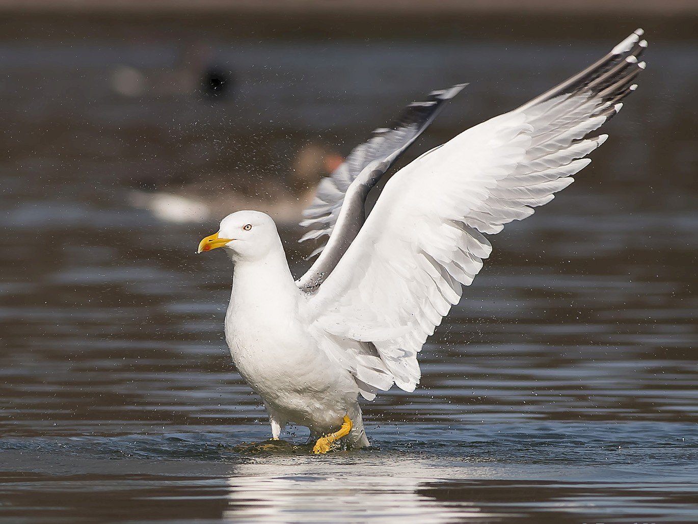 Yellow-legged Gull - Ruud Visser