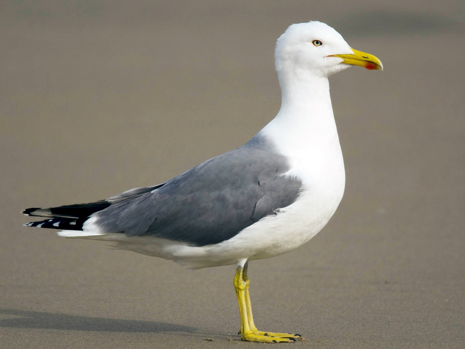 Yellow-legged Gull - José Marques
