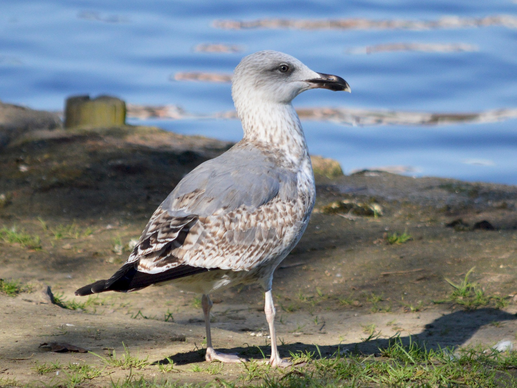 Yellow-legged Gull - Mário Estevens