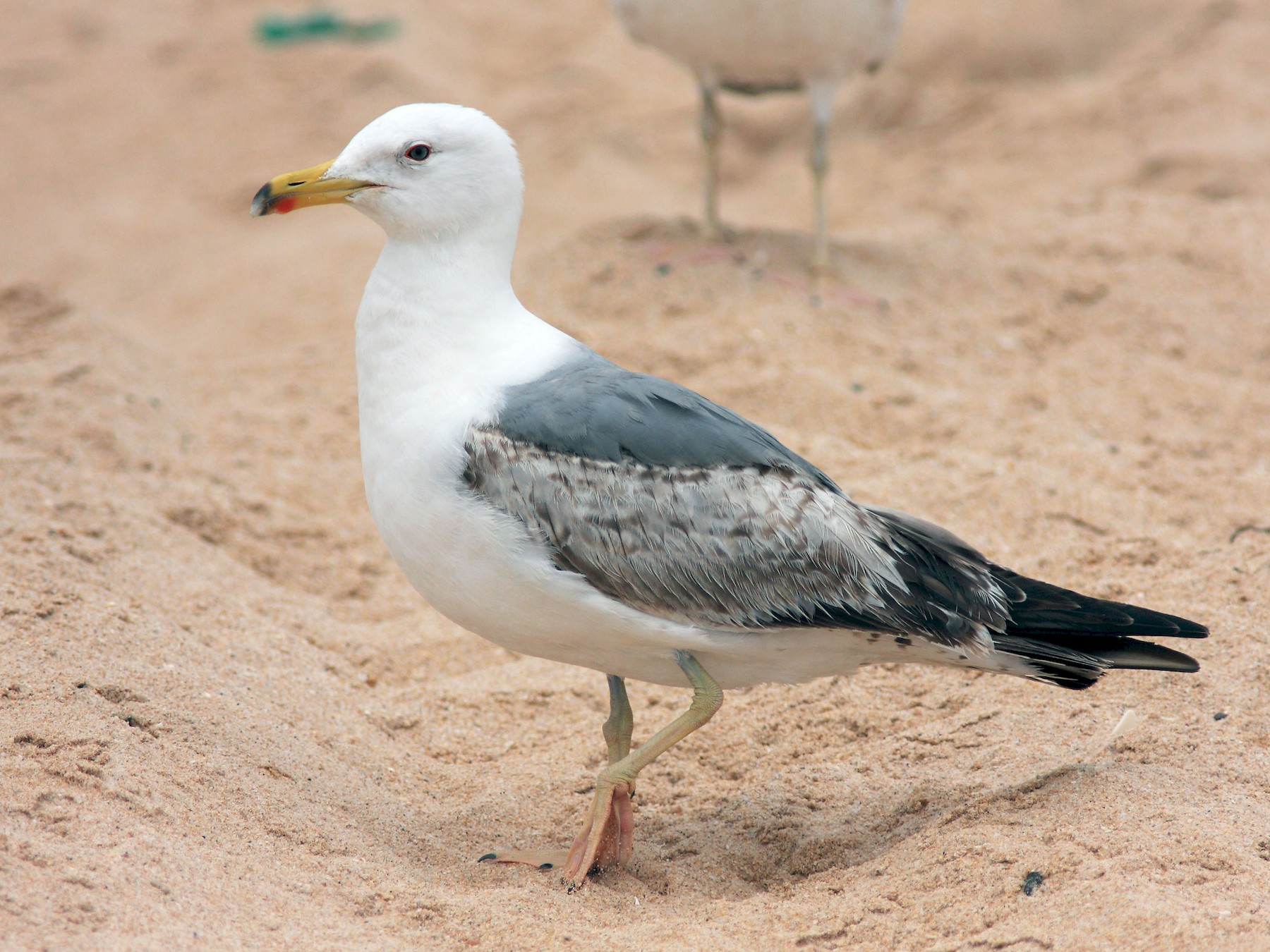 Yellow-legged Gull - Ray Scally