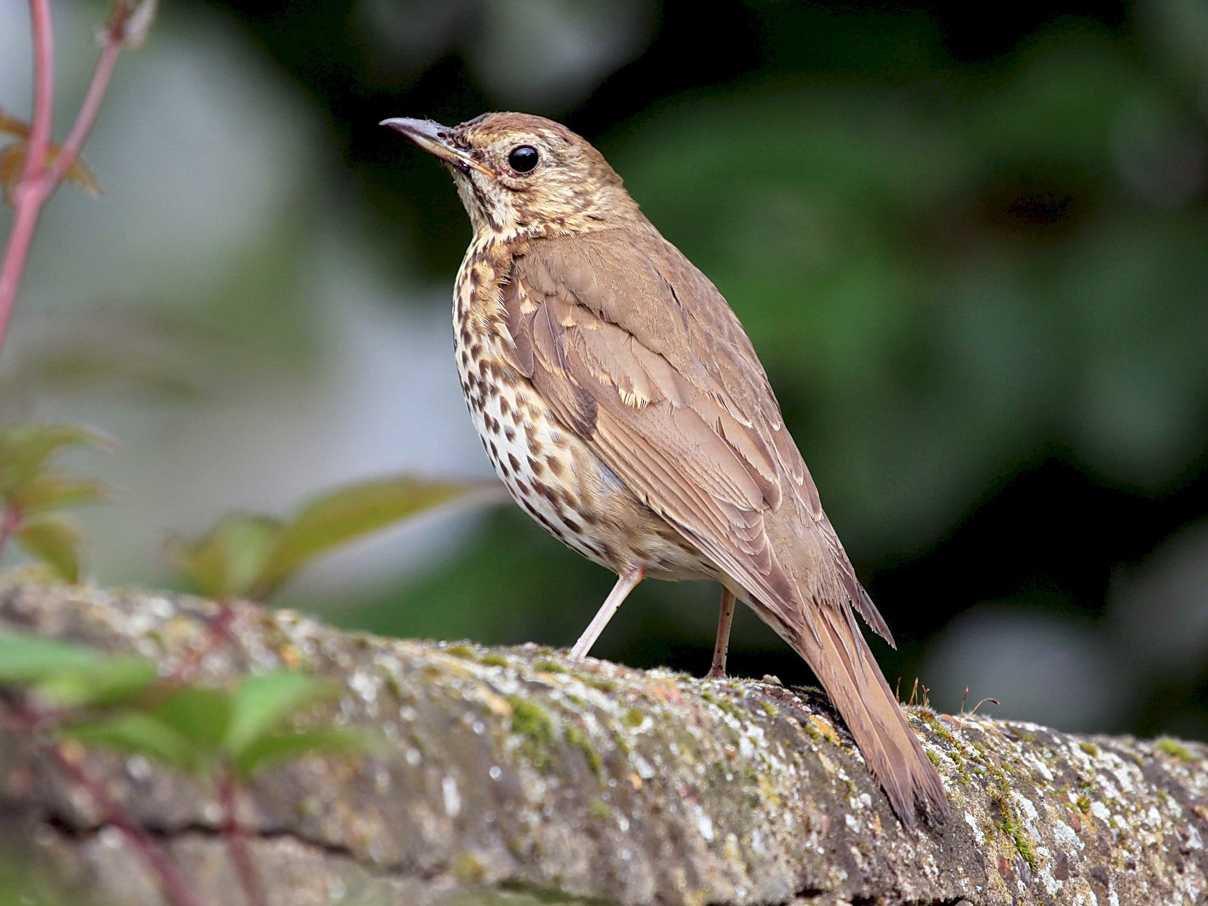 Song Thrush - Helen Baines