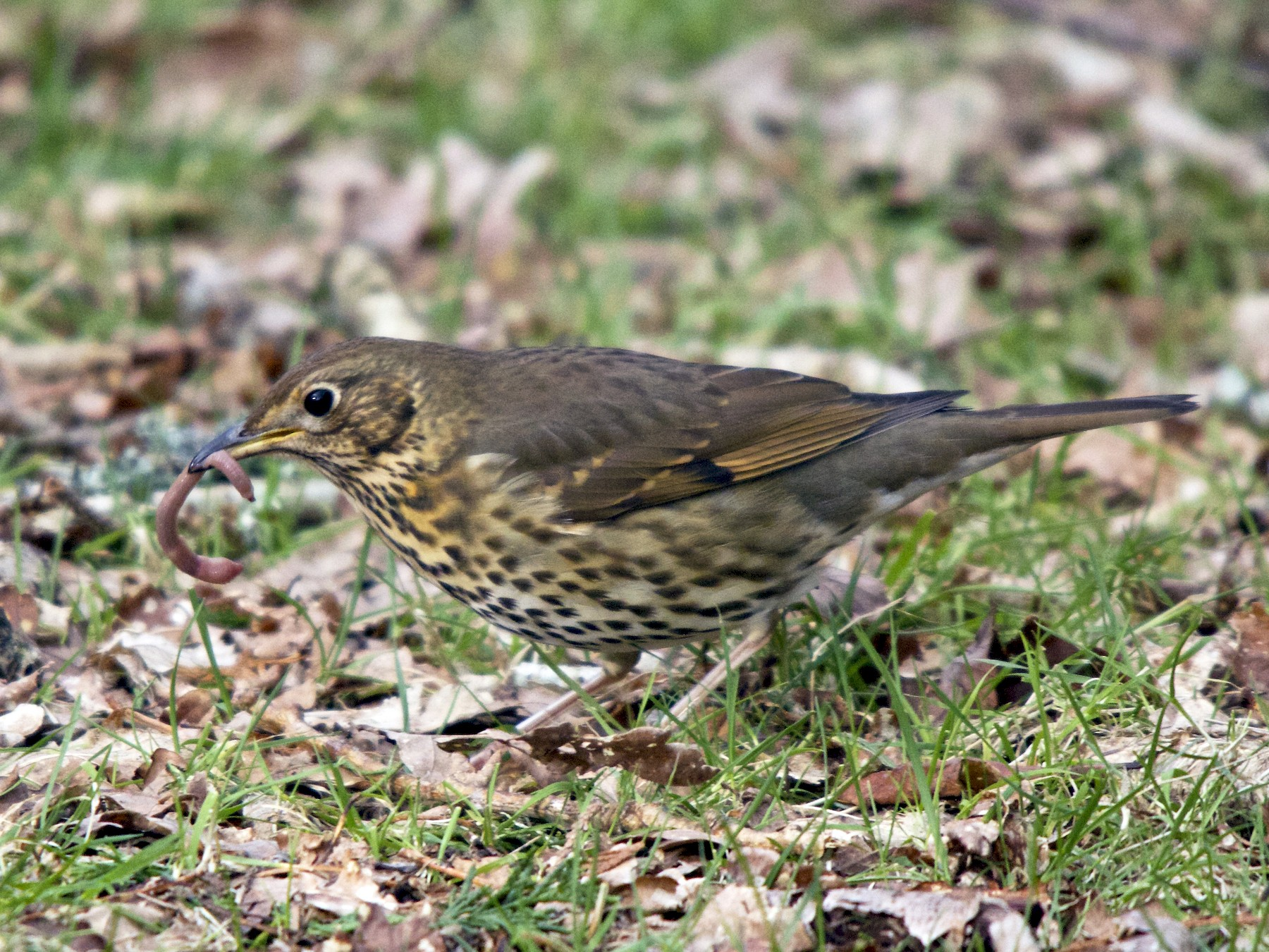 Song Thrush - Torin Waters