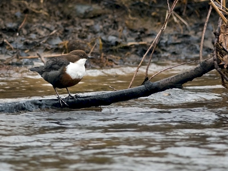 White-throated Dipper - Joshua Vandermeulen