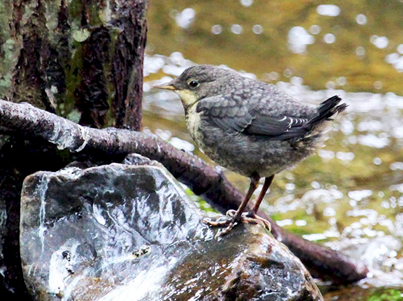 White-throated Dipper - Ricardo Brandao