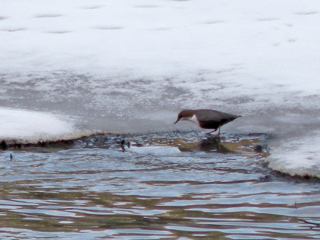 White-throated Dipper - Nick Newberry