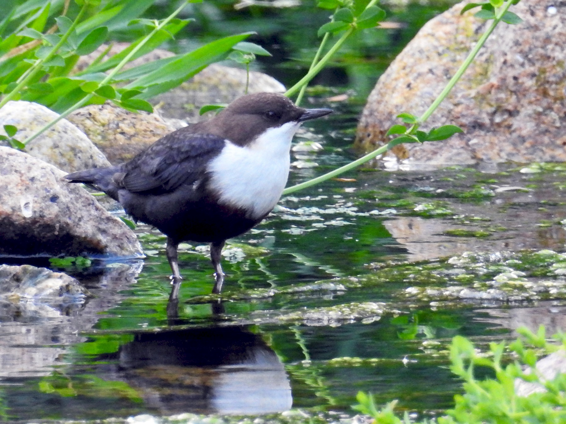 White-throated Dipper - Francisco Fernandes
