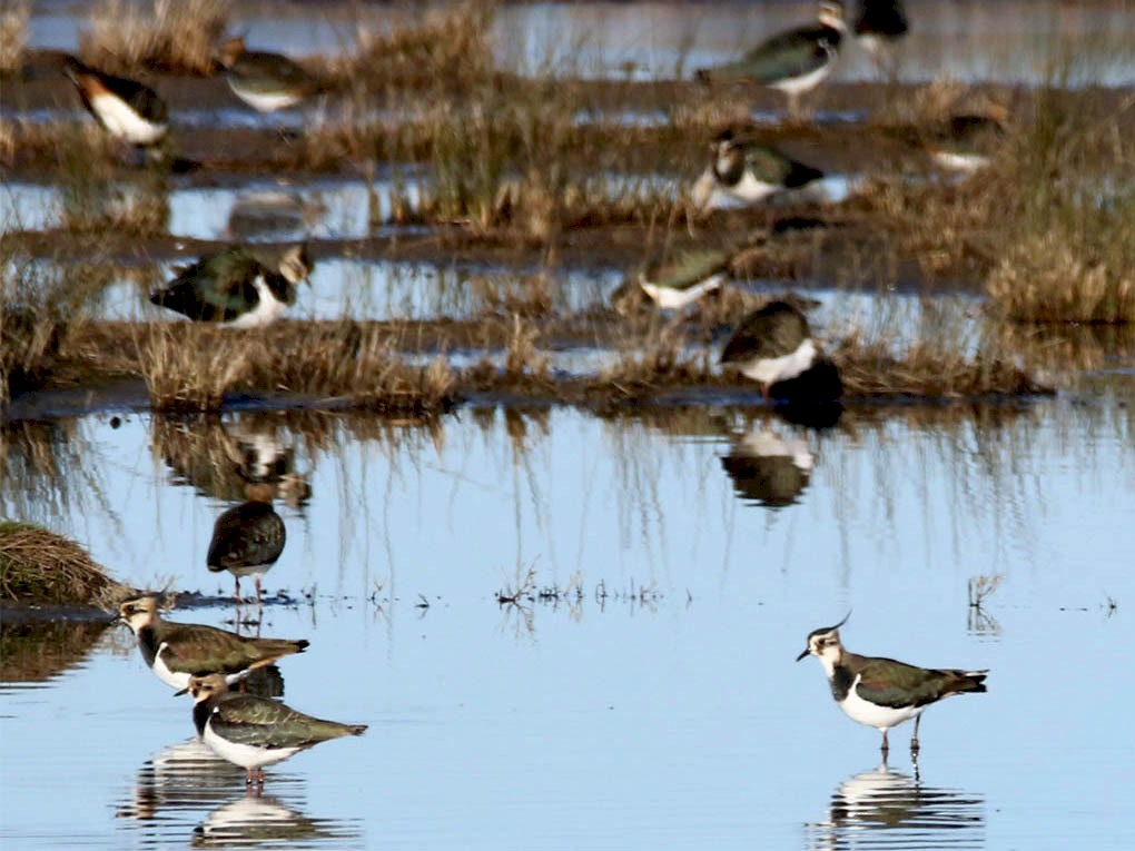 Northern Lapwing - Jean-Guy Papineau