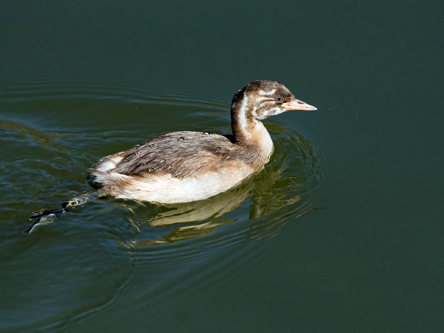 Little Grebe - David Irving