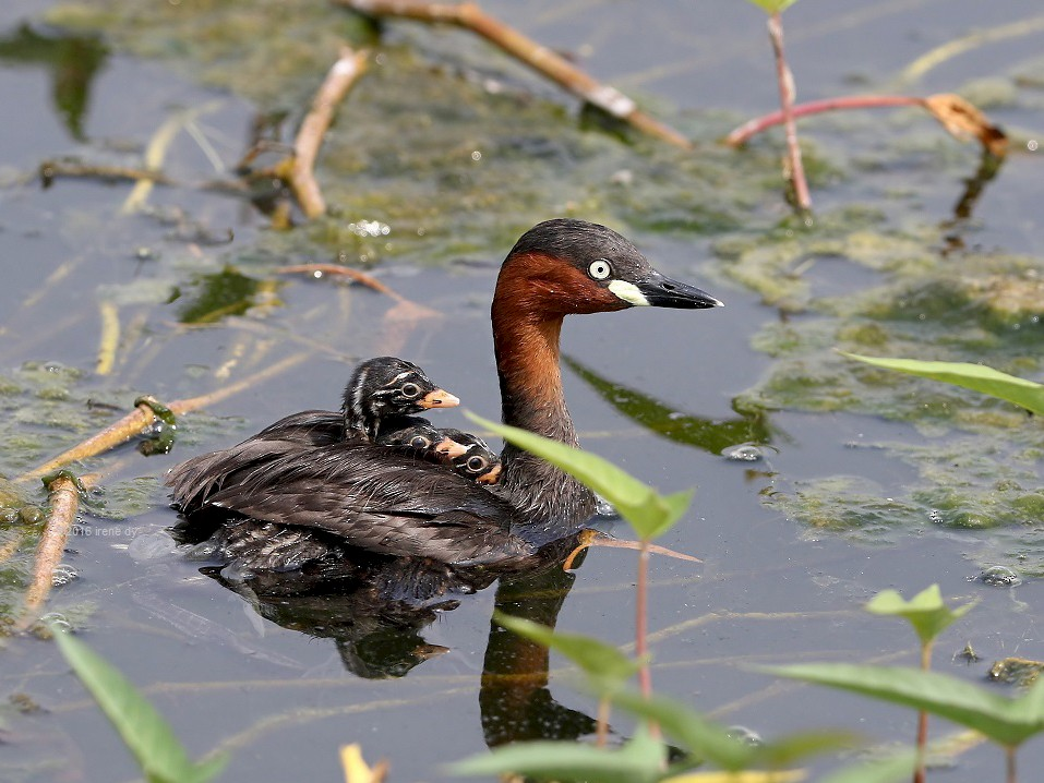 Little Grebe - Irene  Dy