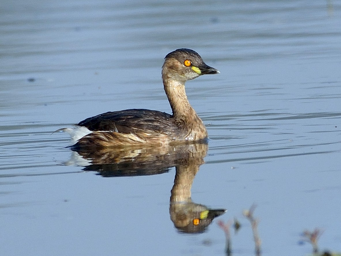 Little Grebe - Sanjay Malik