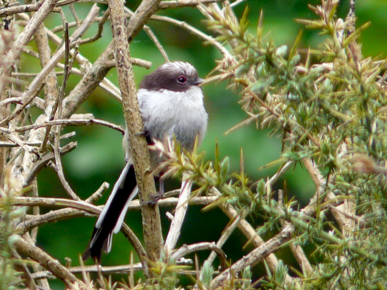 Long-tailed Tit - Bill Crins