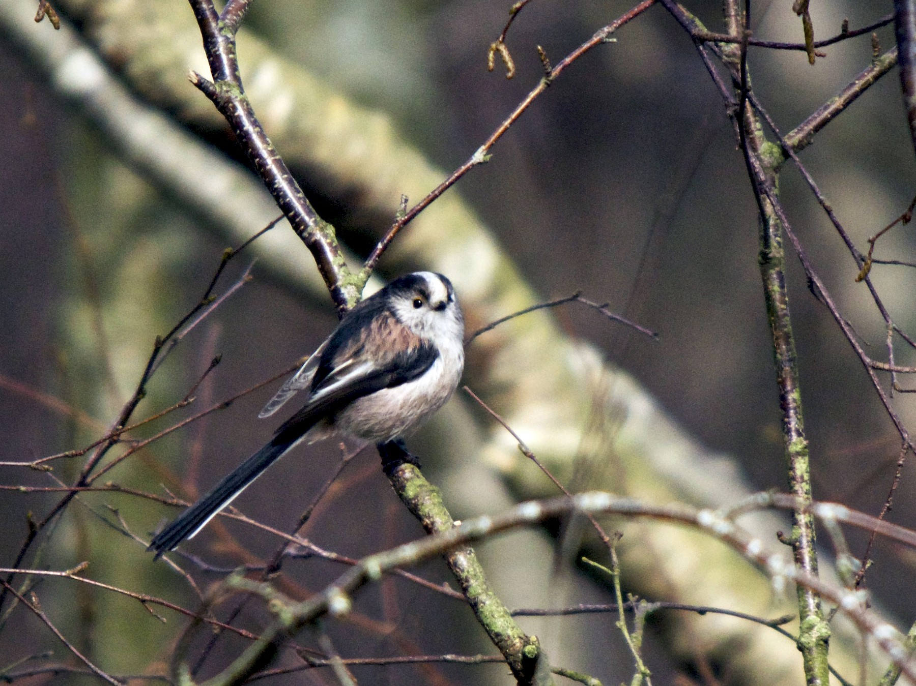 Long-tailed Tit - Torin Waters