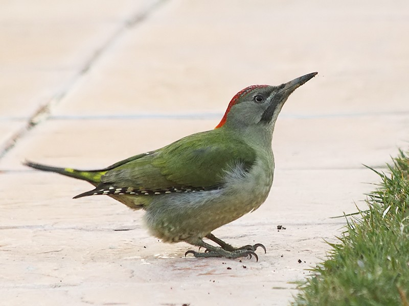 Eurasian/Iberian Green Woodpecker - Mario Alonso