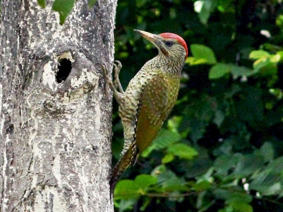 Eurasian/Iberian Green Woodpecker - Dijana  Serhatlic