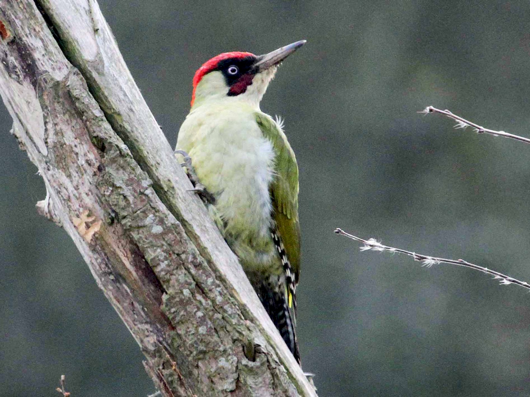 Eurasian/Iberian Green Woodpecker - Paul Lewis