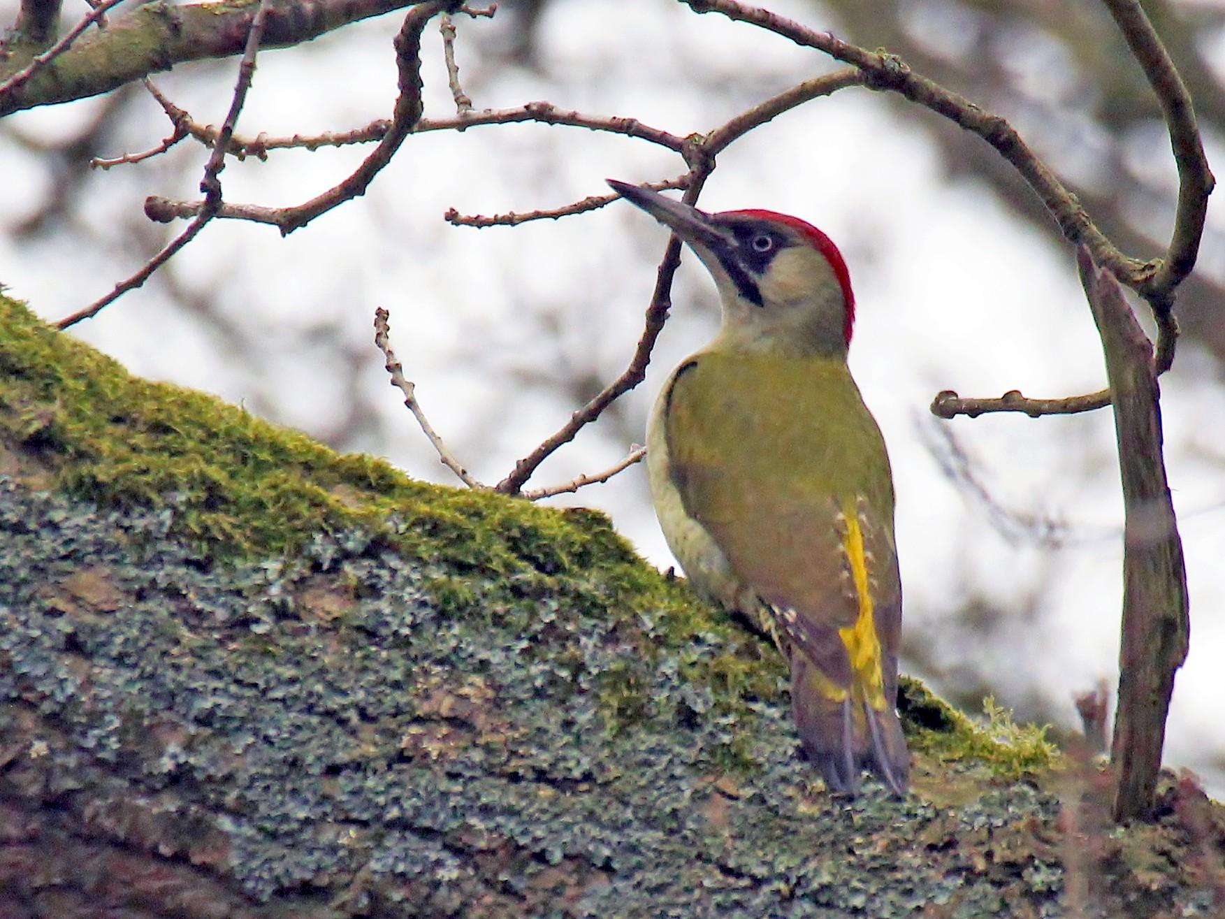 Eurasian/Iberian Green Woodpecker - Stratton Hatfield
