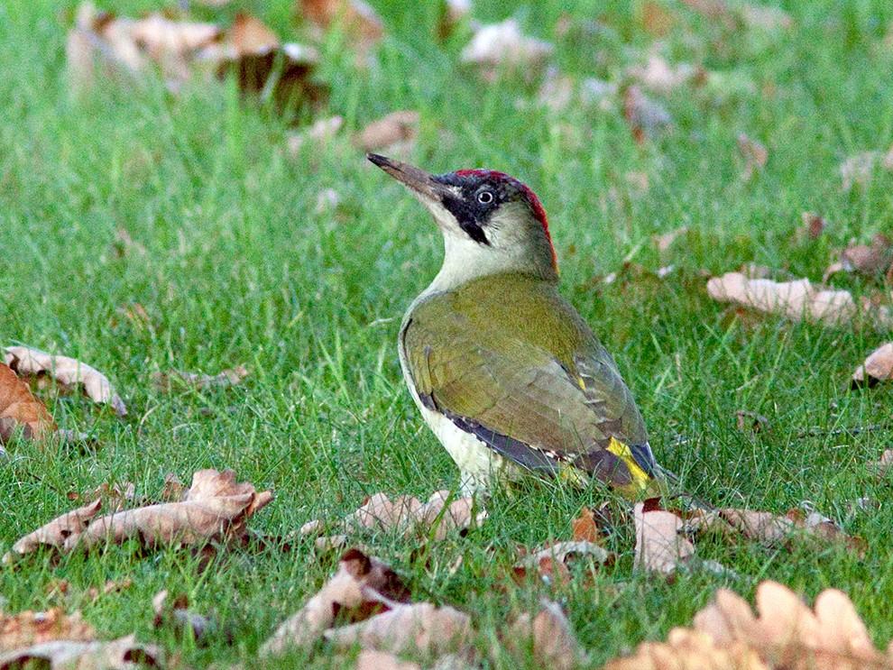 Eurasian/Iberian Green Woodpecker - Suzanne Labbé