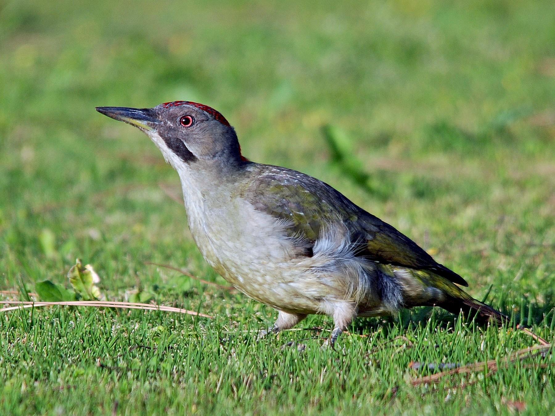 Iberian Green Woodpecker - José Frade