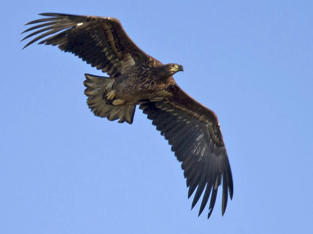 White-tailed Eagle - Ricardo Rodríguez