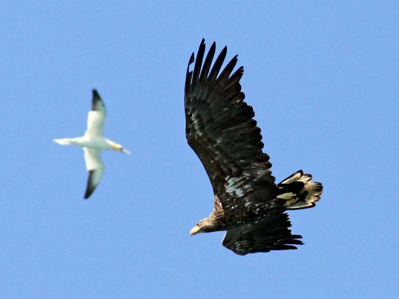 White-tailed Eagle - Knut Hansen