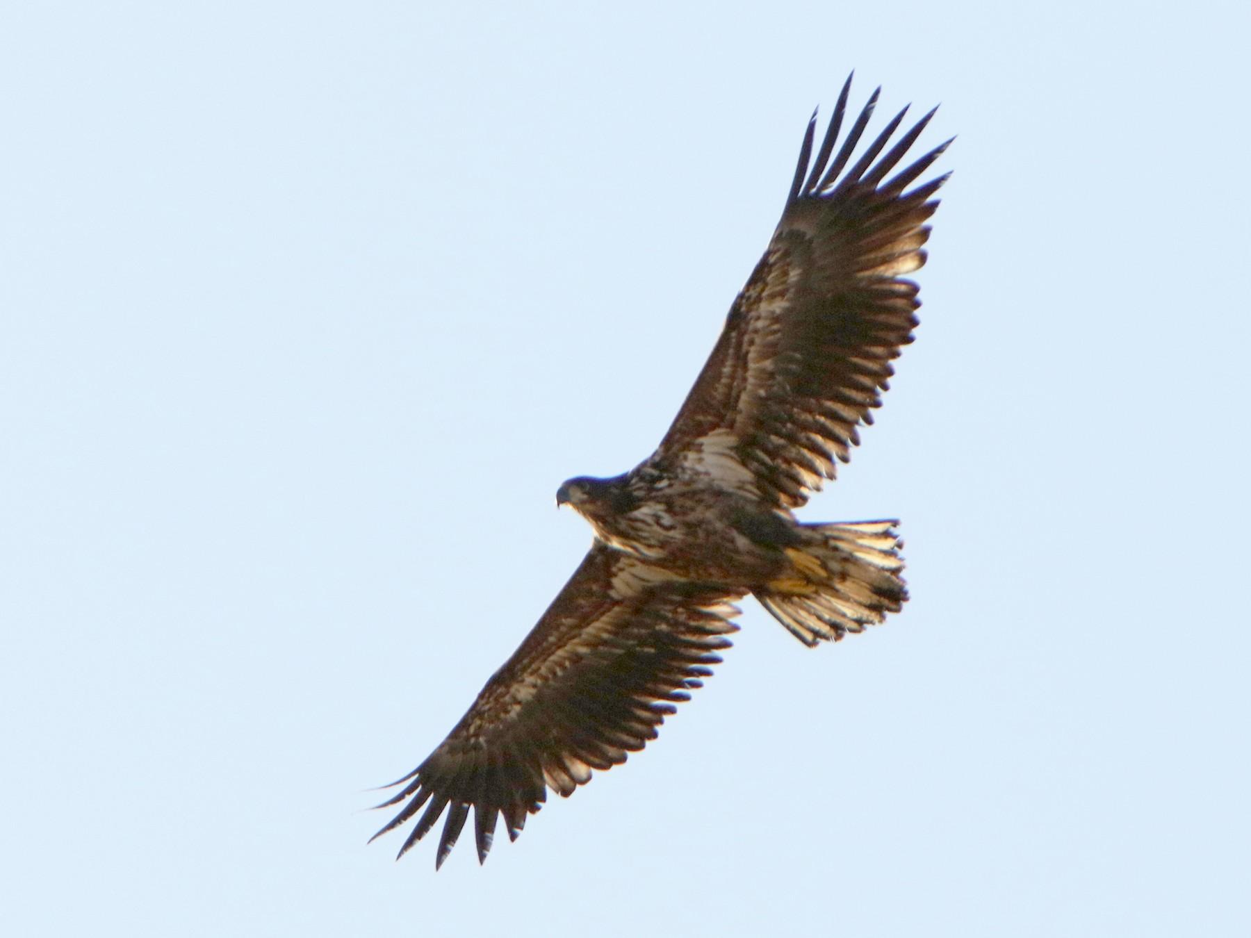 White-tailed Eagle - Brad Benter