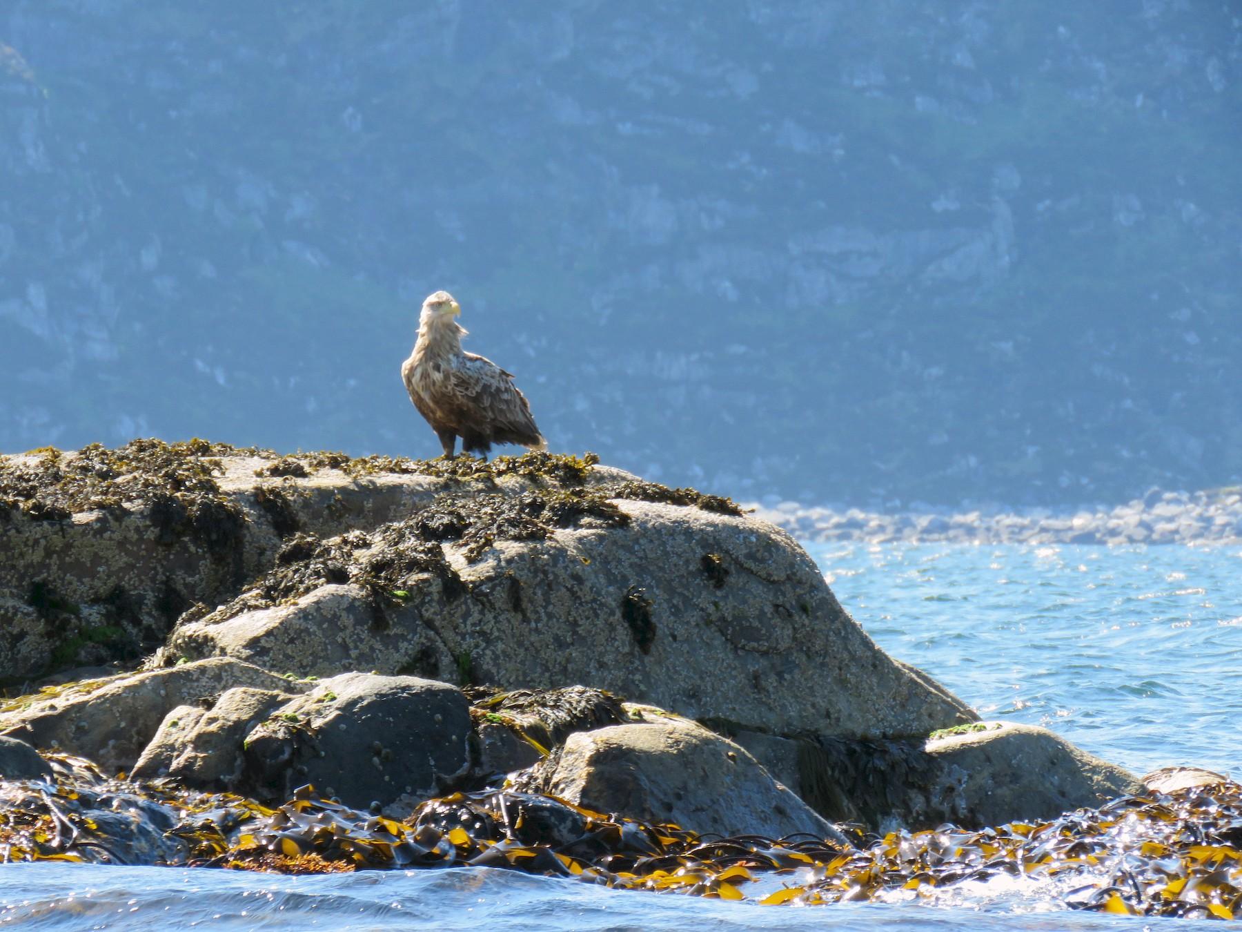 White-tailed Eagle - Lisa Owens