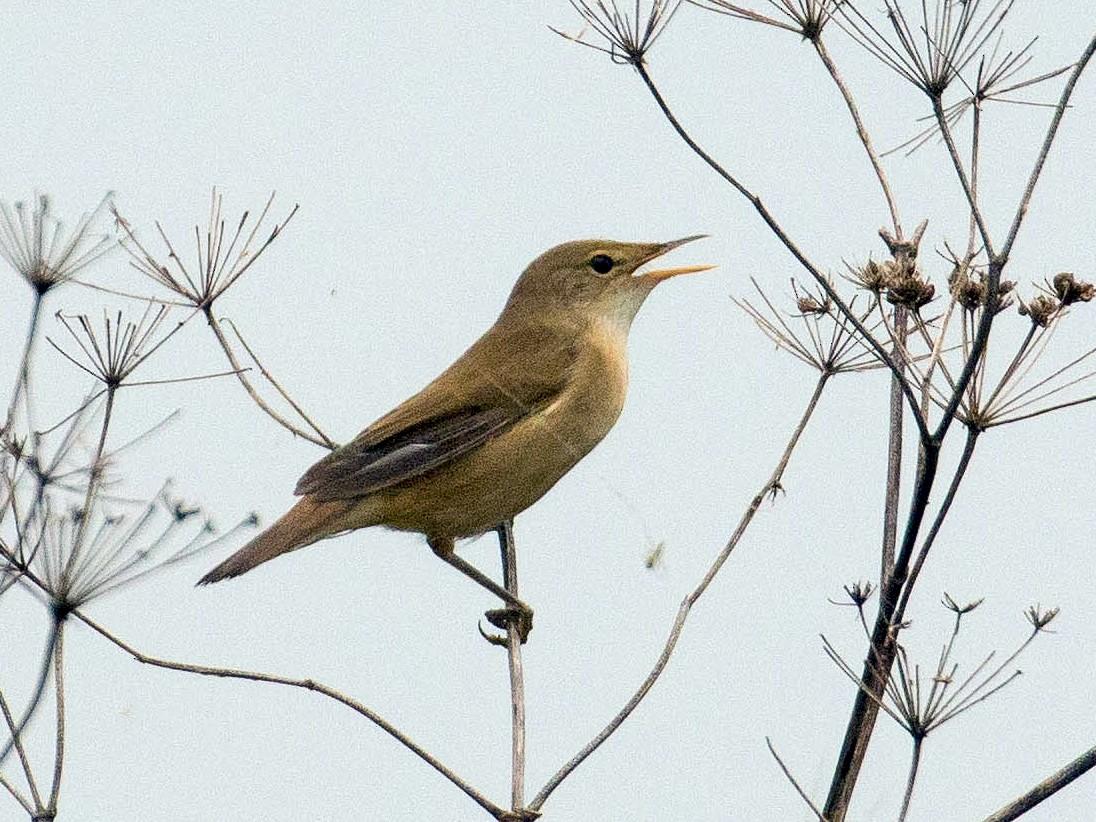 Eurasian Reed Warbler - John Reynolds