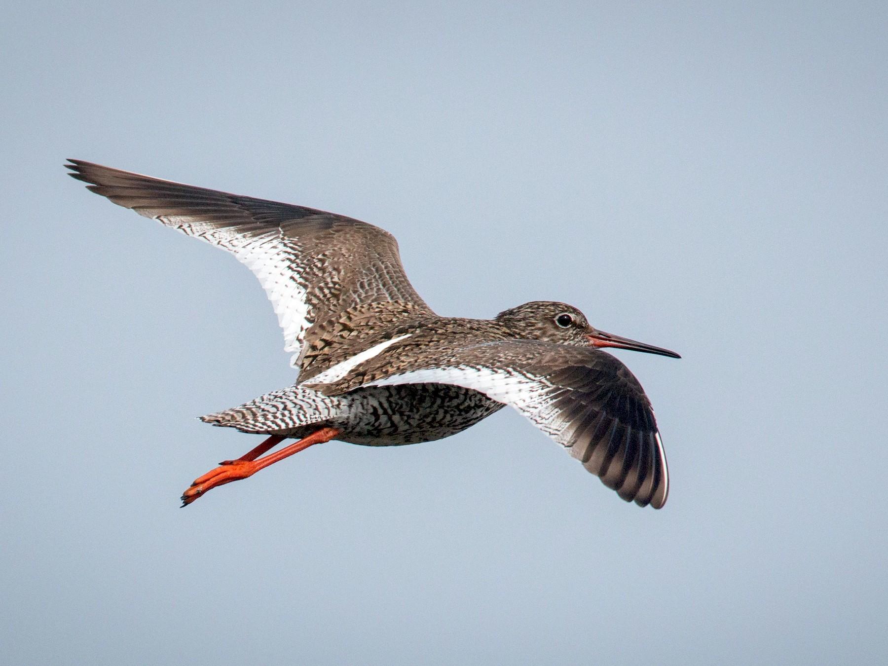 Common Redshank - Ian Davies