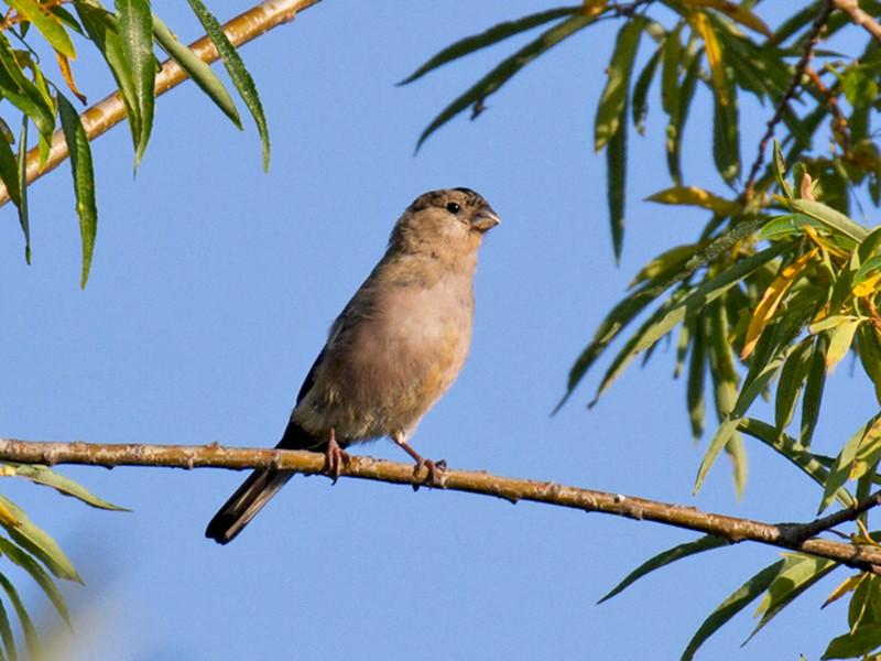 Eurasian Bullfinch - Ric Else